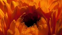 Close Up Orange Flower Petals