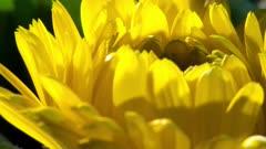 Close Up Yellow Dasy Petals