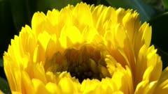 Close Up Yellow Daisy