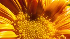 Extreme Close Up of Orange Daisy