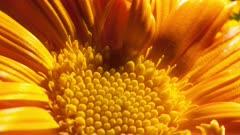 Extreme Close Up of Orange Daisy