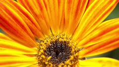 Close Up of Orange Daisy Opening it's petals