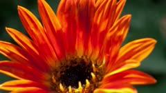 Close Up of Orange Daisy Opening it's petals