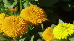 Four yellow flowers, chrysanthemum on the branch in the sun - Static