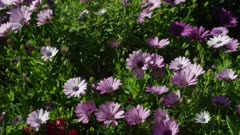 Pan left to right over purple daisies to red snapdragons in garden