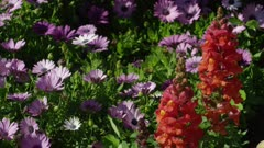 Purple daisies and orange snapdragons in garden - Static