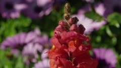 Tilt to orange, red flowers, snap dragons, with purple daisies in background