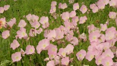Pan Over Pink Flowers