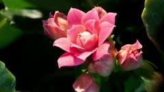 Four Pink Carolina Roses Opening up Simultaneously