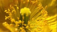 Close Up of Yellow Windpoppy