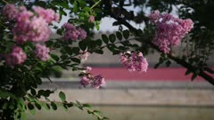 Pink lilacs blow in wind