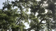 Oak tree, leaves blowing in the breeze, sun rays peak thru