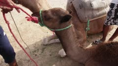 Leashed camel gets petted while lying down
