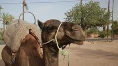 CU Camel standing near desert road