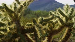 Cactus Plant, possibly Jumping Cholla, at the Organ Pipe Cactus National Monument