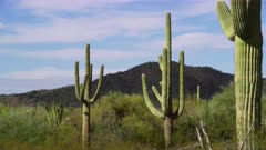 Saguaro Cactus and other vegetation at the Organ Pipe Cactus National Monument