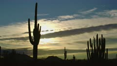 Silhouette of Saguaro and Organpipe Cacti in the morning at the Organ Pipe Cactus National Monument