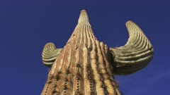 Low angle shot of a Saguaro Cactus in the morning sun at the Organ Pipe Cactus National Monument
