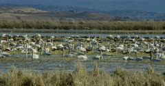 Swans and other birds in the marsh at the Lower Klamath Basin National Wildlife Refuge Complex