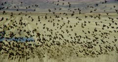 Large flock of small birds flying around the wetlands in Lower Klamath Basin National Wildlife Refuge Complex