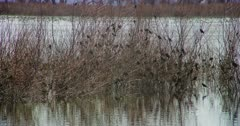 Large flock of small birds perched in bush branches in the wetlands, bathing, drinking, and resting