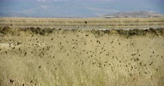 Large group of small birds perched in the tall grass in Lower Klamath Basin National Wildlife Refuge is startled