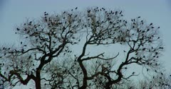 Large flock of small birds perched in a tree are startled and fly away