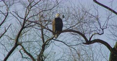 Bald Eagle and small bird perched on a tree branch in Lower Klamath Basin National Wildlife Refuge Complex