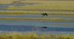 Bald Eagles hunting and feeding in the marsh of the Lower Klamath Basin National Wildlife Refuge Complex