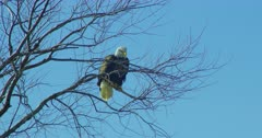 Bald Eagle perched on a tree branch in Lower Klamath Basin National Wildlife Refuge Complex