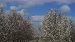 Almond trees blooming in Southern California by the Grapevine