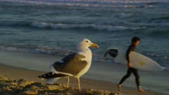Seagull on the beach near Huntington Beach Pier, California; surfer runs by