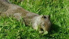 Close up of a Squirrel feeding on grass in Big Sur, California
