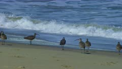 Sandpipers on a beach in Monterey, California