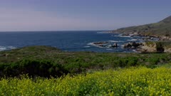 Scenic view of yellow Mustard Flowers on the coast at Big Sur