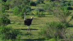 Ostrich near Solvang, California