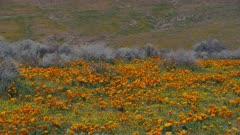 Antelope Valley California Poppy Reserve near Lancaster, California