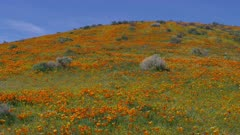 Antelope Valley California Poppy Reserve near Lancaster, California