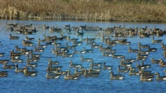 Birds, possibly Ducks, at the Klamath National Wildlife Refuge in the spring