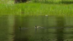 Ducks swimming in the Merced River at Yosemite National Park