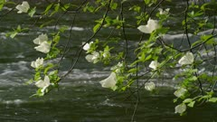 Dogwood tree flowers by the Merced River at Yosemite National Park