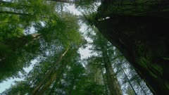 Low angle shot of Redwood trees