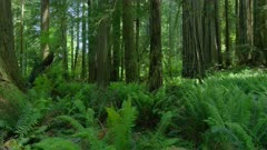 Redwood trees with ferns in foreground