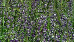 Lupines swaying in breeze in meadow