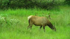 Elk grazing in field