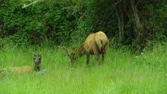Elk walking and grazing in field
