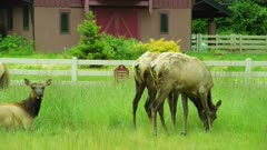 Elks grazing in field