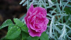Pink wild rose covered with dew drops