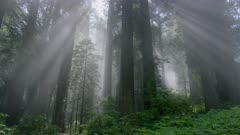 Rays of light shining through fog in Redwood forest