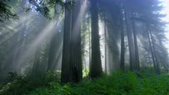 Sun shining through fog in Redwood forest